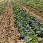 Fresh Kale; Keogh's Farm; Wexford