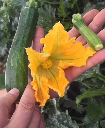 Sunderland Courgette Flower from the Farm